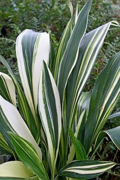 """Aspidistra elatior 'Ippin' Ippin Cast Iron Plant  Item #: 2265 Zones: 7b to 10b Height: 24"""" tall Culture: Light Shade to Shade Origin: China Pot Size: 3.5"""" pot (24 fl. oz/0.7 L) Learn more about our pot sizes.  PDN Guarantee $34.00"""