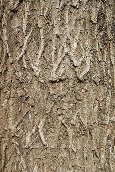 willow tree bark