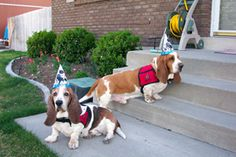 Basset Hound Therapy dogs....great article