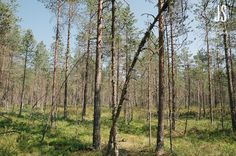 Swamp forest in summertime Finland, Summertime, Europe, Plants, Pictures, Photography, Photos, Fotografie, Photograph