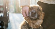 Here's EVERYTHING you must know on how to get a service dog for anxiety or depression, whether a psychiatric service dog or emotional support dog (ESA). Shelter Dogs, Rescue Dogs, Pet Health Insurance, Feline Leukemia, Education Canine, Pet Clinic, Dog Barking, German Shepherd Dogs, German Shepherds