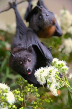 240 Flying foxes are the best! ideas | fruit bat, bat, chiroptera
