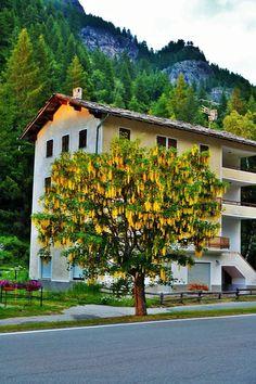 Valle d'Aosta -  Maggiociondolo - Laburnum anagyroides Medik. -  Lillaz - Piazzale del parcheggio - Luglio 2016 - Mark Tano Palermo (55)