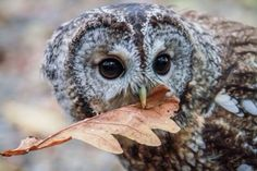 owl, animal, and nature image Beautiful Owl, Animals Beautiful, Cute Animals, Baby Animals, Rapace Diurne, Strix Aluco, Tawny Owl, Owl Always Love You, Wise Owl