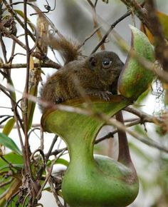Mountain Tree S... Nepenthes Lowii