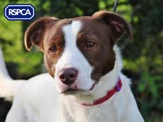 Kota, Collie (Smooth coat) crossbreed, 1 Year, Bath Cats and Dogs Home Pet Search, Collie, Pitbulls, Dog Cat, Adoption, Wildlife, Sadie, Pets, 1 Year