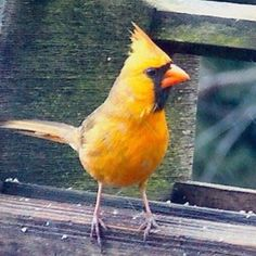 Yellow/orange cardinal:  SERIOUSLY!        Where do you find a  cardinal that looks like that???