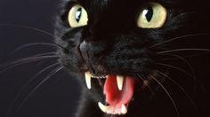 imagenes de gatos negros - Google Search