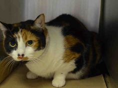 PULLED BY FELINE RESCUE OF STATEN ISLAND - TO BE DESTROYED - 04/25/15 - PUMPKIN - A1033723