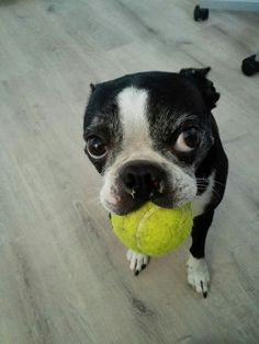 My Boston terrier Lola with a tennis ball