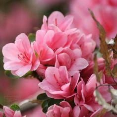 #flowers #flower #beautiful #pretty #blossom #spring #flowerstagram #flowersofinstagram #flowerslovers #azalea #つつじ #travel #travelstagram #japan #tokyo  #ig_flowers #superb_flowers #insta_pick_blossoms #bns_flowers #ip_blossoms #myheartinshots #lovely_flowergarden #bns_flowers #ip_blossoms