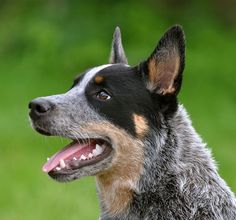 australian cattle dog, one of the smartest dogs.  intelligent and extremely busy.    always looking for something to do or get into and they succeed
