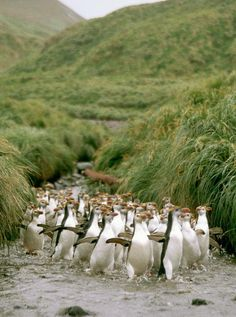 Penguins don't just live on Antarctica. There's also a large penguin population on Australia's lush, green Macquarie Island