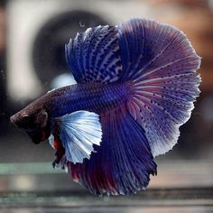 Betta Fish - Betta Fish ideas #bettafish #fishbetta Live Betta Fish SUPER PURPLE Dumbo BIG EARS Rosetail HM (Male) -718- -  $35.00 End Date: Monday Jan-7-2019 20:42:36 PST Buy It Now for only: $35.00 Buy It Now | Add to watch list