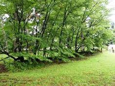 「京都御所 桜松」の画像