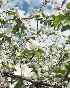 apple blossoms in the spring