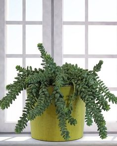 burros-tail-indoors
