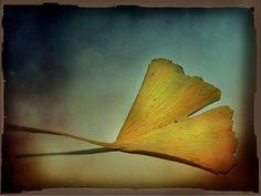 Ginkgo - my favorite leaf!