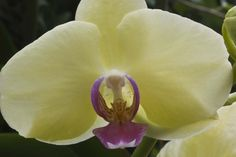 Cream Orchid Flowers For You, Wonderful Picture, Flower Pictures, Orchids, Cream, Creme Caramel, Photos Of Flowers, Lily, Orchid