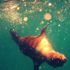 Sea Lion at Los Islotes.