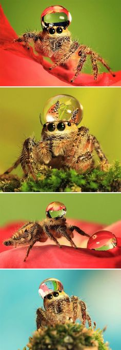 A spider species that use water droplets as hats! So cute! ^^