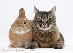 Elderly Tabby Manx-cross cat and rabbit