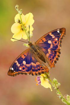 Lesser Purple Emperor (Apatura ilia) by Lorenzo Shoubridge on 500px