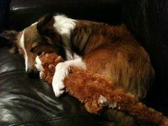 irresistable collie cuddles