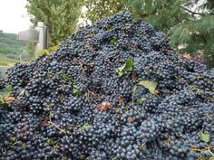 Barbera  | Wine Varietals | Gold Medal Wine Club