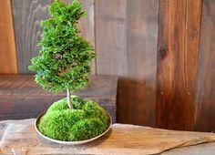 季節の盆栽新入荷のご案内 : Kitowaの日々