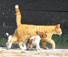Miniature Jack Russell Pups & Kitten