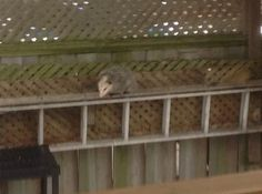Possum hanging out in the backyard in Scarborough, Ontario!  Thanks Anne, for sending us these cute pictures!
