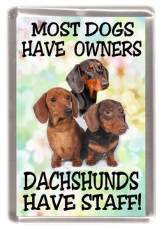 Dachshund Smooth Haired Dog Fridge Magnet Most Dogs. Dachshunds Have Staff - Funny Dog Quotes - Dachshund Smooth Haired Dog Fridge Magnet Most Dogs. Dachshunds Have Staff Funny Husky Meme Funny Husky Quote Dachshund Breed, Dachshund Quotes, Dachshund Funny, Dachshund Art, Long Haired Dachshund, Funny Dogs, Daschund, Dapple Dachshund, Funny Ferrets