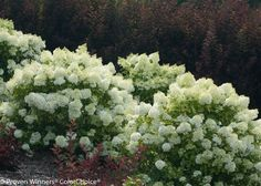 These easy-to-grow panicle hydrangeas will stand out in your garden all summer long and even into the fall season.