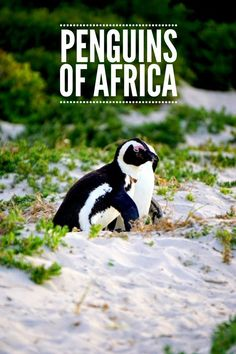 Best location to find #penguins in #Africa. The African penguins of Boulder Beach, Capetown #southafrica #boulderbeach