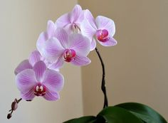 Dette uventede trick fik Helens orkidéer til at blomstre op This unexpected trick caused Helen's orchids to bloom Moth Orchid, Phalaenopsis Orchid, Orchid Plants, Orchids In Water, Indoor Orchids, Plants Indoor, Orchid Care After Flowering, Orchid Leaves Turning Yellow, Orchid Images