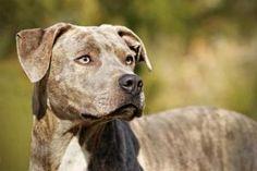 Clive: Plott Hound, Dog; Nashville, TN