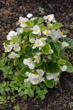 begonia ambassador white semperflorens cultorum