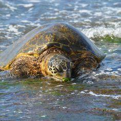 Sea turtle at Turtle Bay - north shore Hawaii