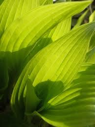 chartreuse hosta leaves