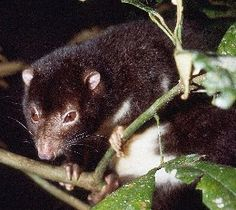 Herbert River ringtail possum | Atherton Tablelands | Queensland | Australia #rainforest #FNQ