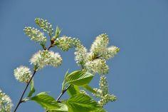 Prunus maackii 'Amber Beauty' #flowering #tree #trees www.vdberk.co.uk