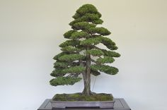 Our online course is full of great inspirational trees. With Bjorn Bjorholm :) #bonsai