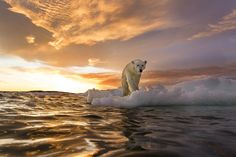 A polar bear stands on a lump of melting sea ice as the sun sets on Repulse Bay, Canada © Paul Souders / Getty Images