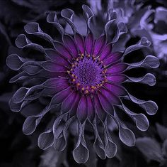 Deep shades of purple in a common zinnia...