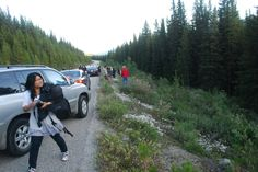 the throng of paparazzi looking for bear. later we pulled over by the side of the road as a joke. Within a minute twenty other cars had pulled over too looking for wildlife. Alberta Canada, Calgary, The Twenties, Wildlife, Bear, Bears