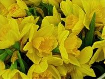 Daffodil Day in Seattle: 12,000 free daffodils to be passed out on March 20, the first day of spring