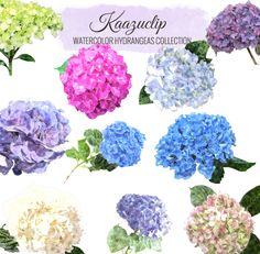 Watercolor Hydrangea Collection Set -10 pieces - is a collection of my Watercolor sets! 10 piece clipart set for personal and commercial use includes all colors seen, perfect for