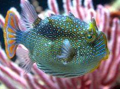 Ornate #Cowfish (Arcana ornata)