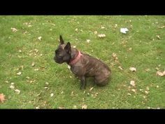French Bulldog doing  20 tricks. This is amazing.